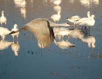 Bird Watching - Bosco del Apache Wildlife Preserve