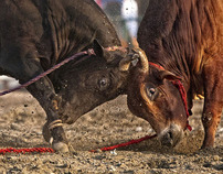 Bullfight in Fujairah