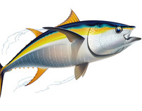 Drawing of a yellowfin tuna