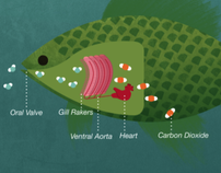 How Fish Breathe Underwater