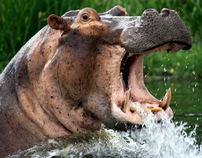 Hippos of the Nile