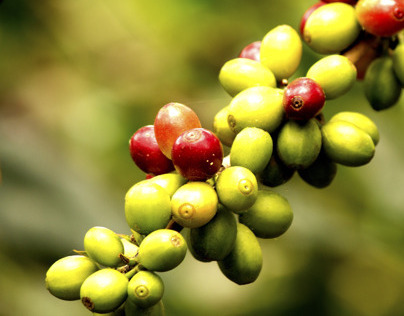 Honduran Coffee