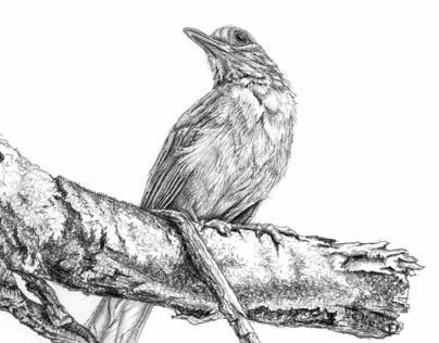 Birds - pencil drawings