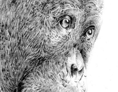 Pencil sketch of a Chimp