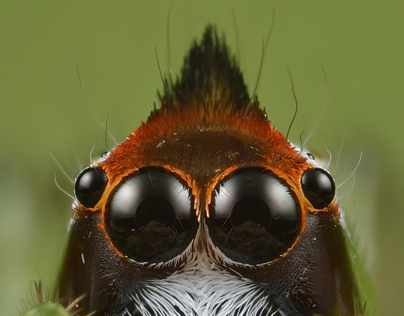 The Invisible Beauty (Salticidae)