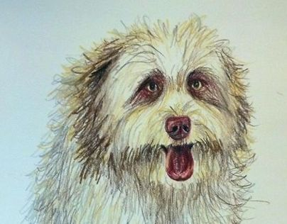 Colored Pencil Portrait of Clay, an Aussie-Doodle