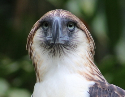 Philippine Eagles