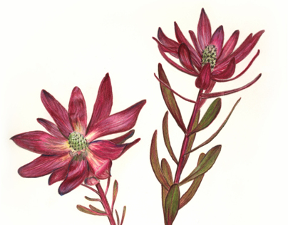 Tarja Barton - Botanical Illustration Portfolio