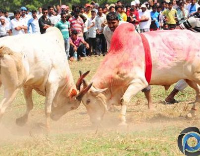 Indian version of a Bullfight