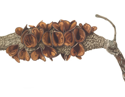 Banksia seedpod