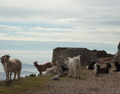 At the top of the mountain, the goats