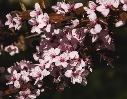 Buds, Blossoms, Shaken Petals