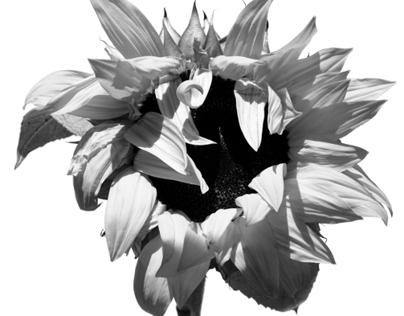 Sunflowers : 1