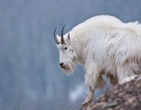 Elk, Deer, Goat & Sheep - Big Game Wildlife Photography