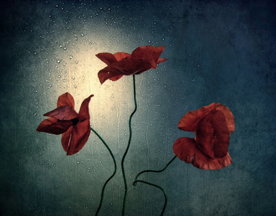 Still life with poppies +