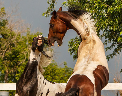 Pinto Stallions Play Fighting