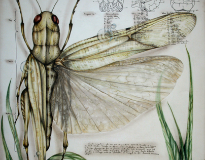 Entomology of Locusta Migratoria