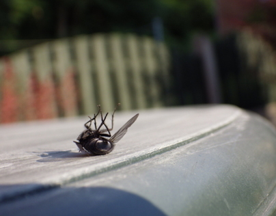 Dead fly - Focus and Macro