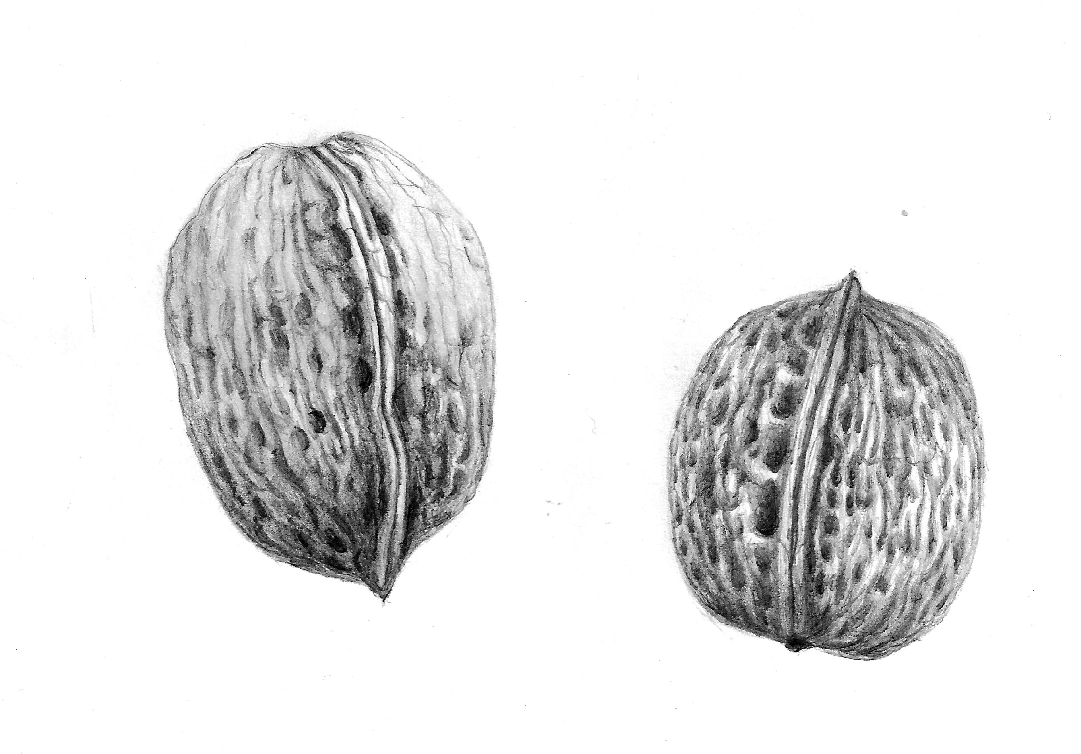 Vegetable drawings